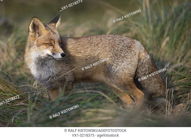 Red Fox / Rotfuchs ( Vulpes vulpes ) adult, stands in high grass of a meadow, watching over its shoulder, full body side view, last sunlight, warm tones