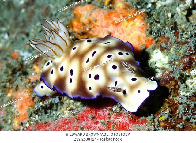Hypselodoris tryoni nudibranch, formerly known as Risbecia tryoni, Lembeh Strait, Indonesia