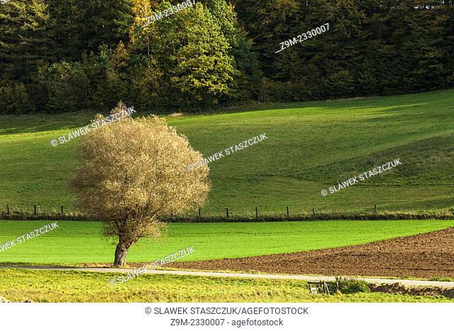 Lone willow in Kashubian Landscape Park near Goreczyno, pomorskie province, Poland