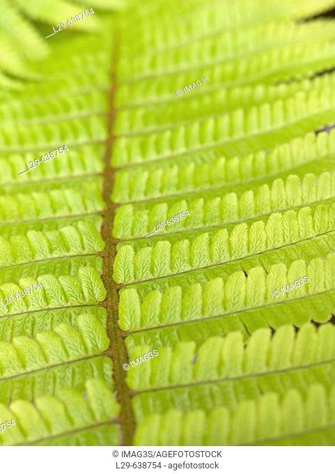 Bracken (Dryopteris filix-mas)
