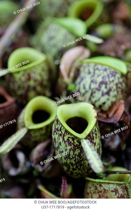 Nepenthes-Pitcher plants