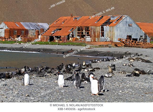 Gentoo penguin Pygoscelis papua on the beach with king penguins and Antarctic fur seal pups at the abandoned whaling station of Stromness, South Georgia