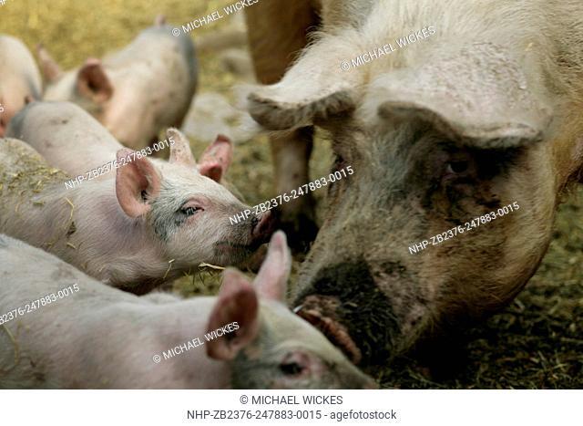 USA, ID, Bellevue. SMall farm. Berkshire pigs and piglets. 2007-04-07. © Michael Wickes