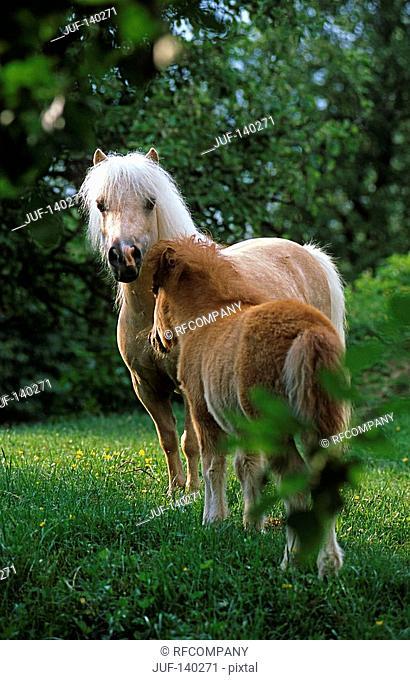 Mini-Shetlandpony mare with foal