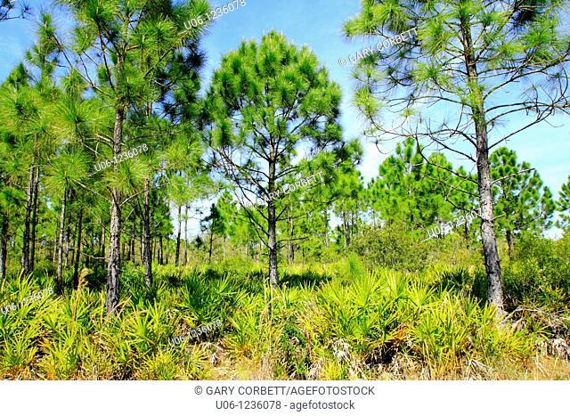 Pine Flatwoods ecosystem Florida USA
