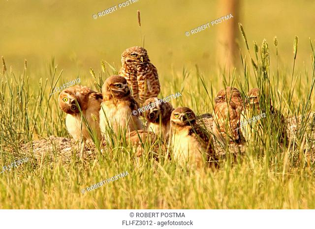 Digitally enhanced image with painterly effect of Burrowing owl chicks and adult, Grasslands National Park, Saskatchewan