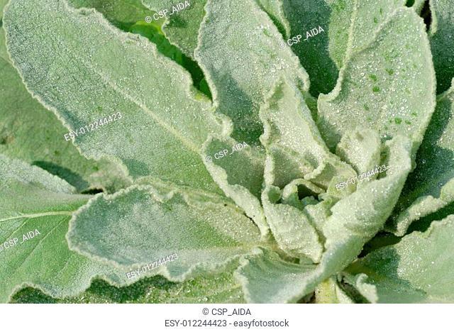 Mullein herb plant