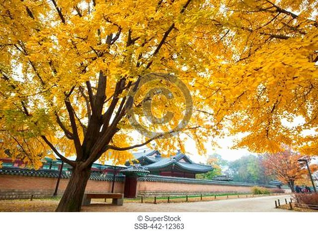 Autumn tree with a palace in the background, Gyeongbokgung Palace, Seoul, South Korea