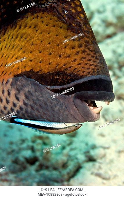 Cleaner Wrasse - cleaning Titan Triggerfish (Balistoides sp.) (Labroides dimidiatus). Maldives