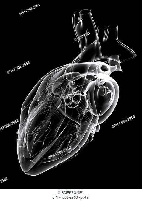 Healthy heart, computer artwork
