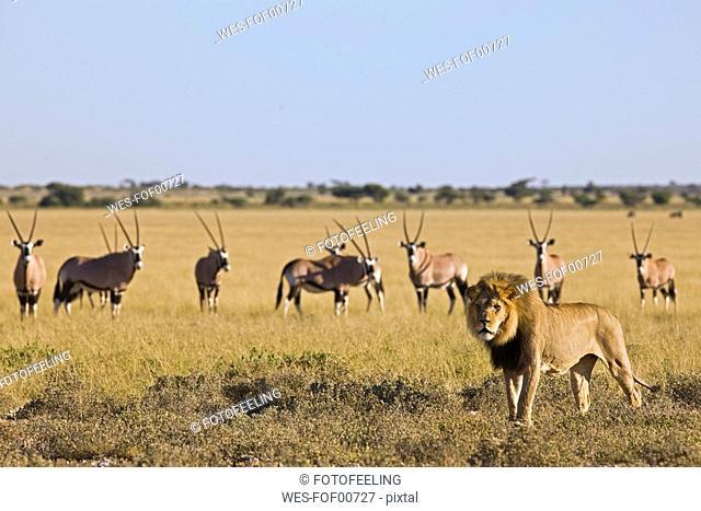 Africa, Botswana, African Lion Panthera leo in background Gemsbok Oryx gazella herd