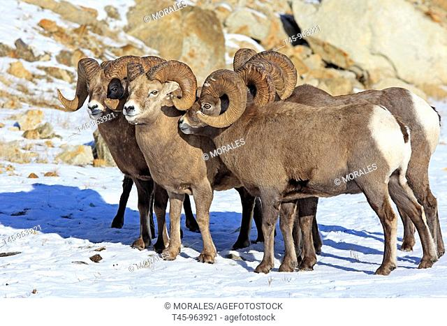 Rocky Mountain Bighorn Sheep (Ovis canadensis canadensis), Jasper National Park, Alberta, Canada