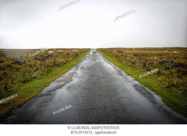Straight rural road with a lamb across in the way. Wensleydale, North Yorkshire, Yorkshire Dales, England, UK, Europe