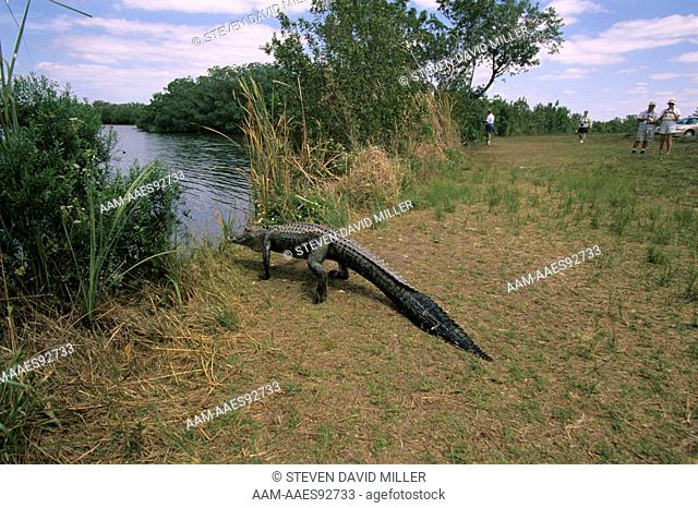 American Alligator enters Water, Tourists watch, Everglades, FL (A. mississippiensis)