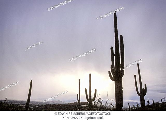 Cacti (Cereus Giganteus) (Saguaro) in desert landscape with mountains in Arizona