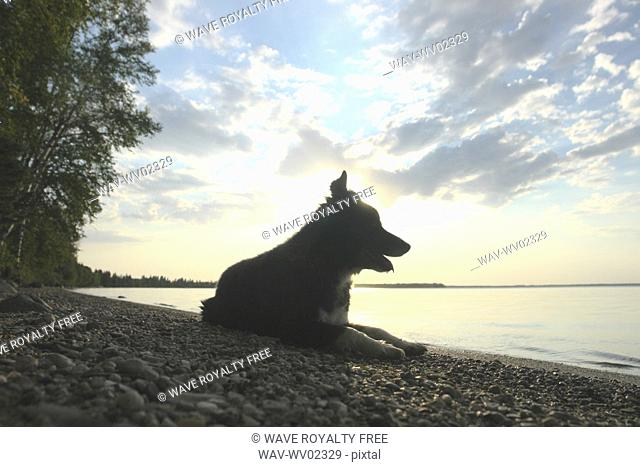 Dog by Clear Lake evening, Canada, Manitoba, Riding Mountain National Park
