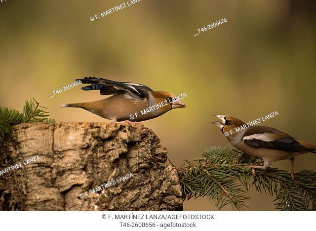 Hawfinches (Coccothraustes coccothraustes). Motilla del Palancar, Cuenca province, Castile-La Mancha, Spain