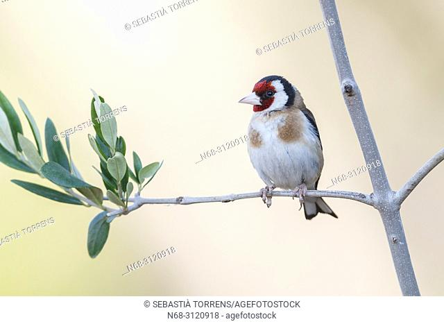 European goldfinch (Carduelis carduelis) on a branch, Alcudia, Majorca, Balearic Islands, Spain