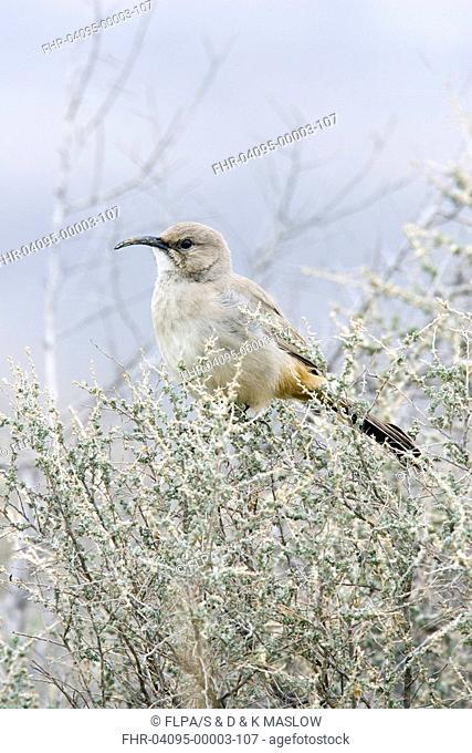 Le Conte's Thrasher Toxostoma lecontei adult, perched in saltbush, U S A