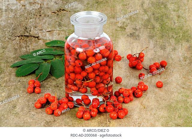 Production of Rowan Ash berry tincture, Sorbus aucuparia, Mountain Ash, cut out, object