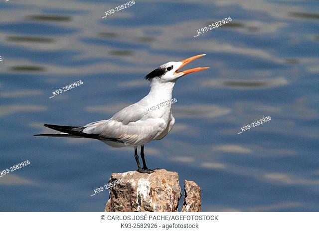 Elegant Tern (Thalasseus elegans), Montezuma, Nicoya Peninsula, Costa Rica
