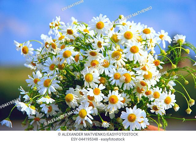 White chamomiles in bouquet on blue sky background. Beautiful bouquet with white chamomiles. Chamomile flowers. White field flowers in summer close-up