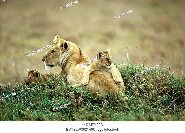 lion Panthera leo, lioness with lion cubs, Kenya, Masai Mara National Reserve, Nov 01