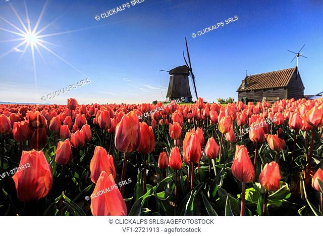 Red tulips in foreground and blue sky frame the windmill in spring Schermerhorn Alkmaar North Holland Netherlands Europe