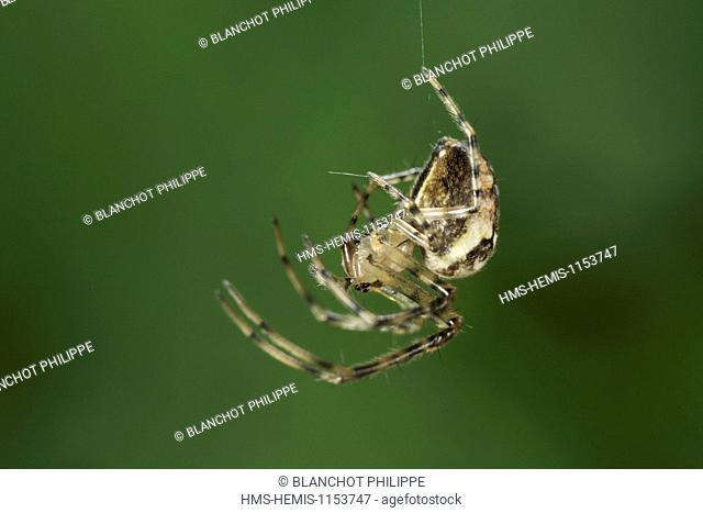 France, Araneae, Tetragnathidae (Metidae), Lesser garden spider or Autumn spider (Metellina segmentata), female hanging on a silk thread