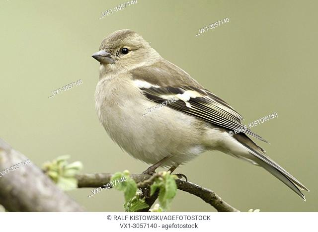 Common Chaffinch ( Fringilla coelebs ), female in spring, perched on a branch in a tree, fresh green leaves, wildlife, Europe