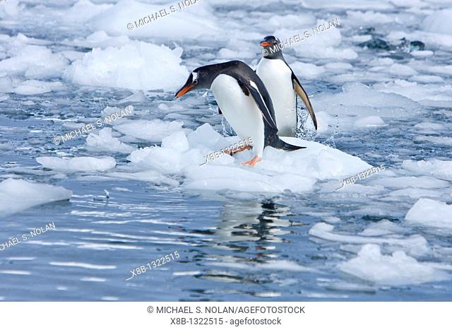 Adult gentoo penguins Pygoscelis papua swimming and playing on small growlers in Neko Harbour in Andvord Bay, Antarctica  There are an estimated 80