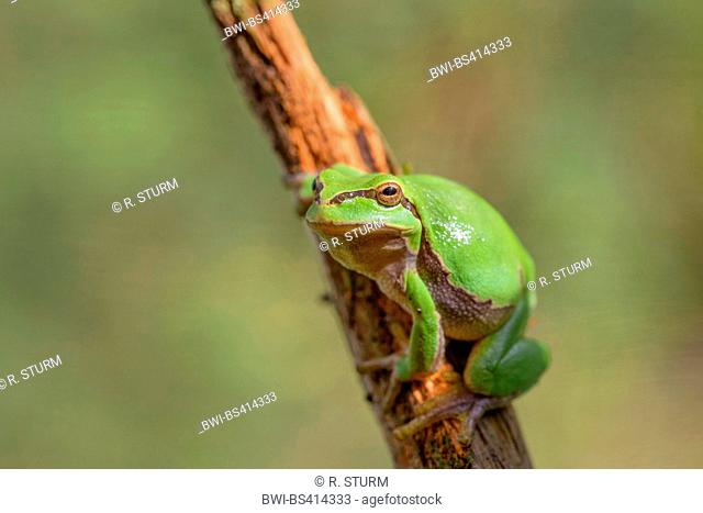 European treefrog, common treefrog, Central European treefrog (Hyla arborea), sunbathing, Germany, Bavaria