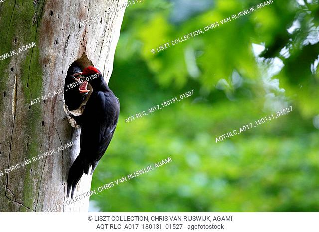 Feeding Black Woodpecker, Black Woodpecker, Dryocopus martius