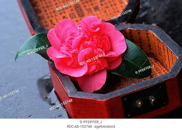 Camellia  'Debbie' in box with chinese characters Camellia japonica