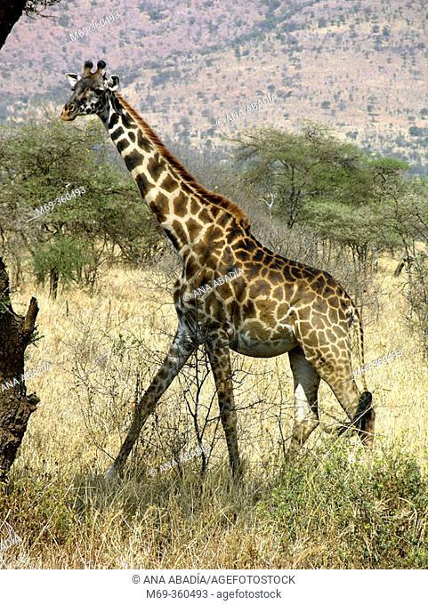 Giraffe (Giraffa camelopardalis). Serengeti National Park, Tanzania