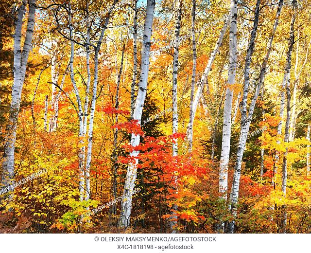Birch tree forest colorful autumn nature scenery  Ontario, Canada