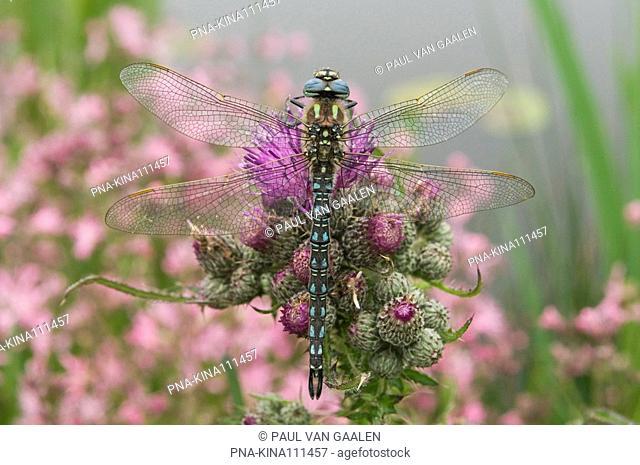 Hairy Dragonfly Brachytron pratense