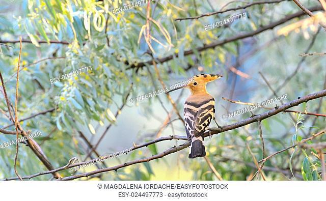 Hoopoe (Upupa epops) on brunch tree