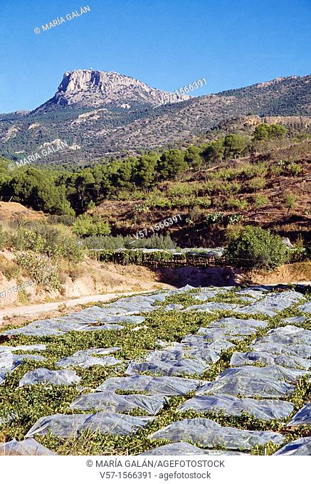 Vineyard and mountain. Sierra Espuña Nature Reserve, Murcia province, Spain