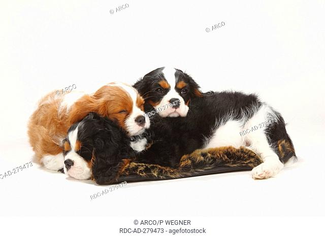 Cavalier King Charles Spaniel, puppies, 10 weeks, tricolour and blenheim