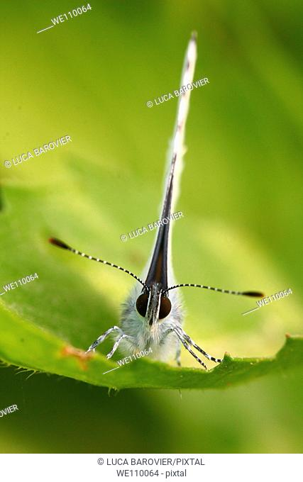 Pieris rapae - A frontal close-up of white butterfly - Milan, Italy