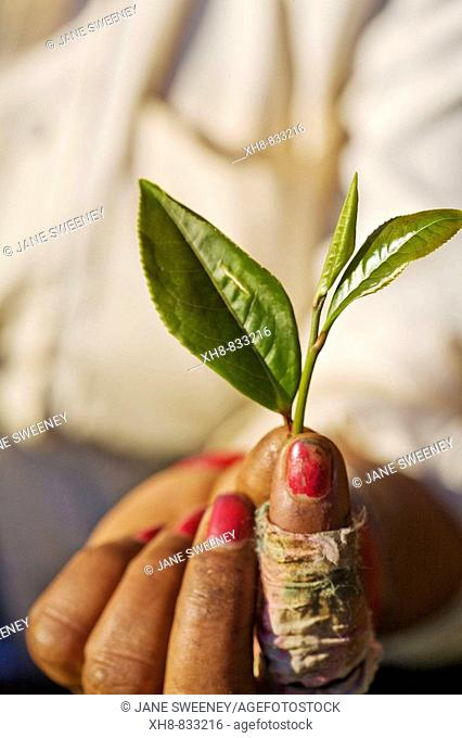 India,West Bengal,  Darjeeling, Happy Valley Tea Estate, Woman tea picker holding example of high quality tea leaves - two leaves and a bud which are collected...