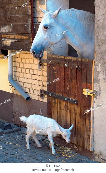 Lipizzaner horse (Equus przewalskii f. caballus), and goat, Lipizzaner locking out of the stable