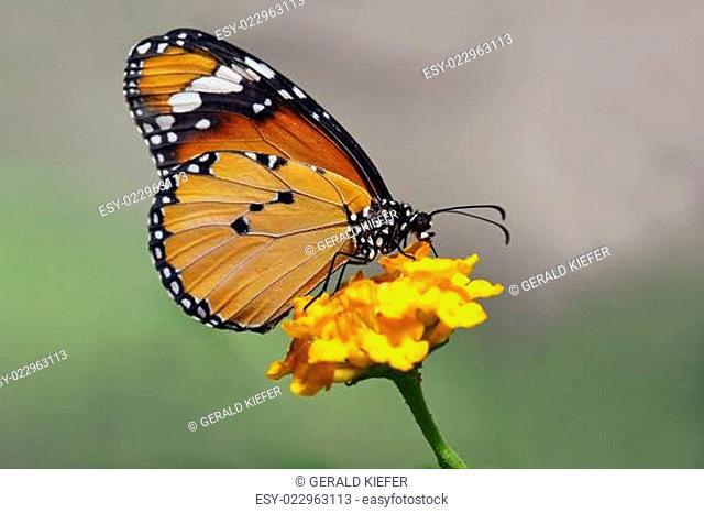 Afrikanischer Monarch Danaus chrysippus