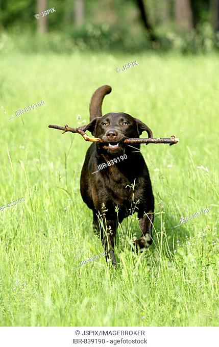 Labrador, short-haired type, running with a stick in a meadow