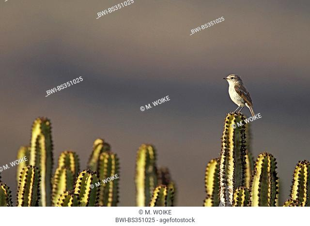 Canary islands chat (Saxicola dacotiae), female sitting on candelabra tree, Canary Islands, Fuerteventura