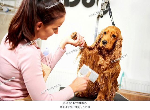 Female groomer combing wet cocker spaniel at dog grooming salon