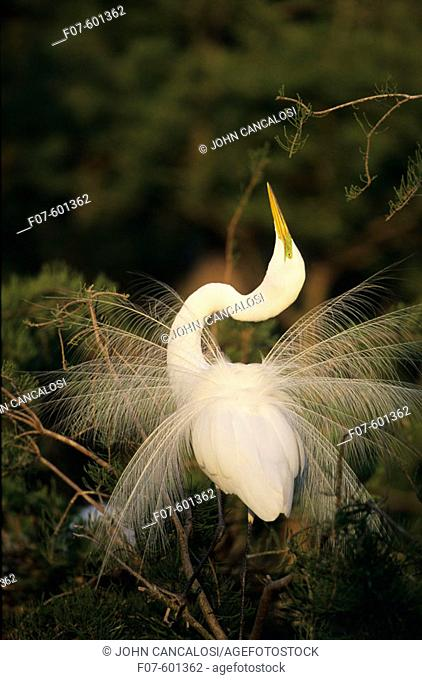 In breeding plumage with long plumes trailing from back extending beyond tail. In Display. Louisiana. Distinguished from most other white herons by large size (...