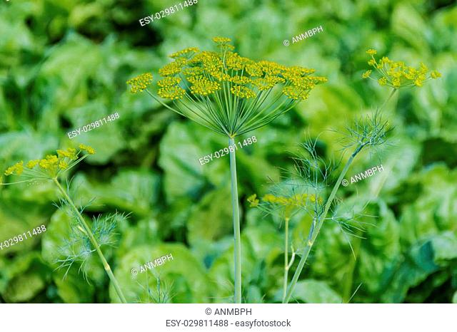 Flowering dill twig against greenery