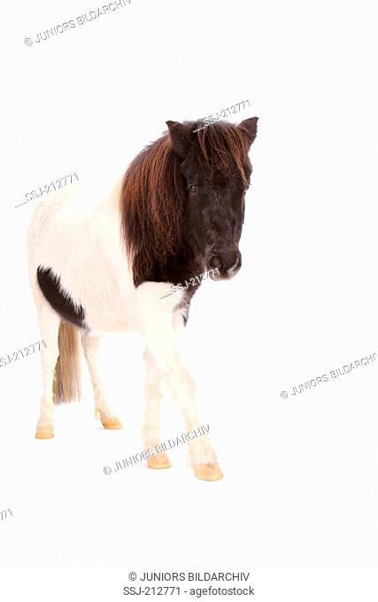 Shetland Pony. Piebald mare walking. Studio picture against a white background. Germany